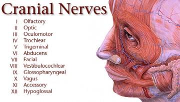 Cranial Nerves Chiropractic