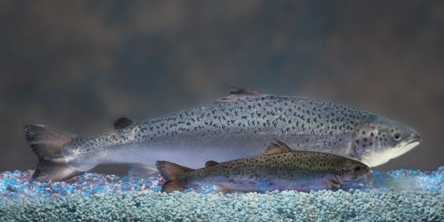 This photo provided by AquaBounty Technologies shows two same-age salmon, a genetically modified salmon, rear, and a non-genetically modified salmon, foreground.  (AP/AquaBounty Technologies)
