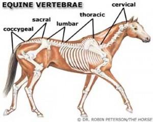 equine-vertebrae