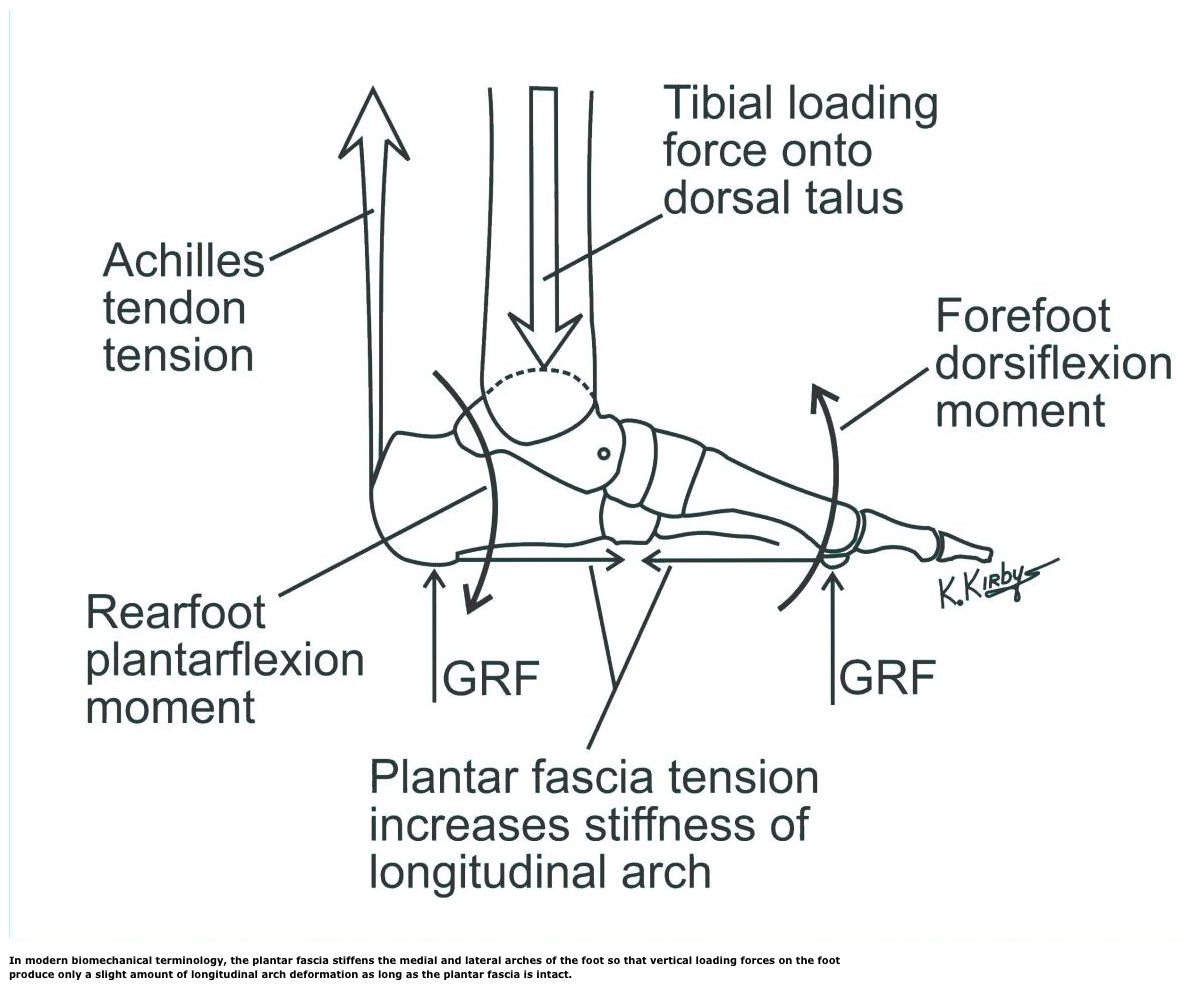 Understanding Ten Key Biomechanical Functions Of The Plantar Fascia ...